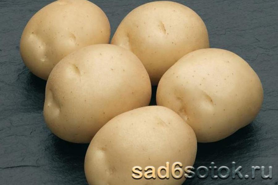 Картофель сорт Сифра