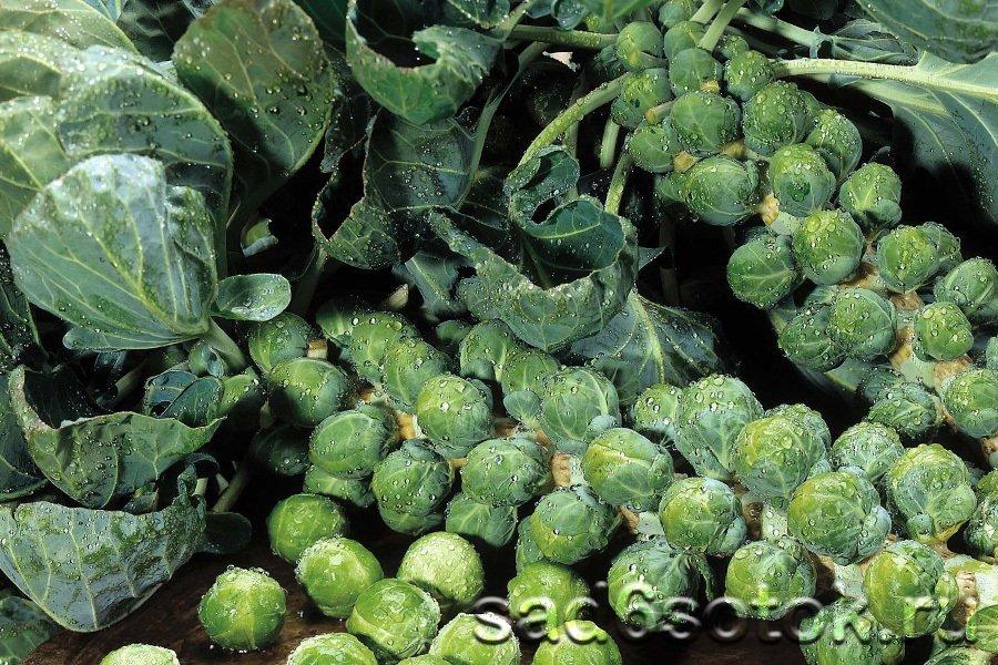 Лучшие сорта и гибриды брюссельской капусты