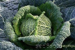 Лучшие сорта и гибриды савойской капусты