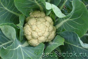 Лучшие сорта и гибриды цветной капусты