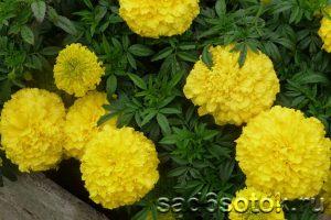 Бархатцы сорт Лемон Куин (Lemon Queen)