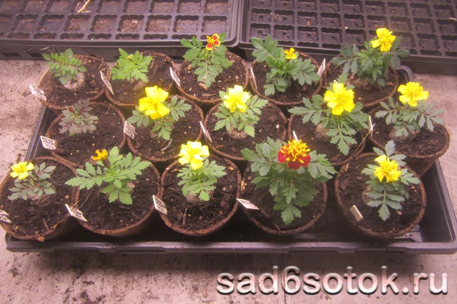Выращивание рассады бархатцев