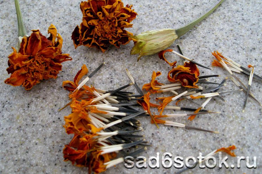 Сбор семян бархатцев
