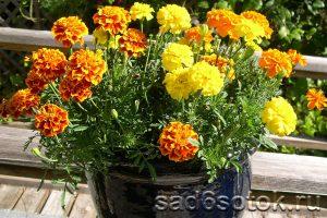 Выращивание бархатцев в вазонах