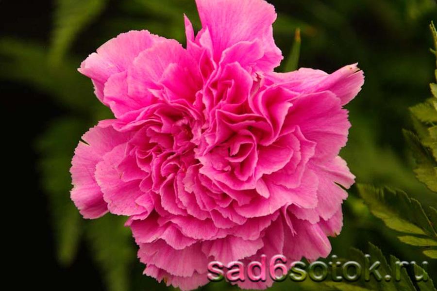 Голландская гвоздика (садовая)