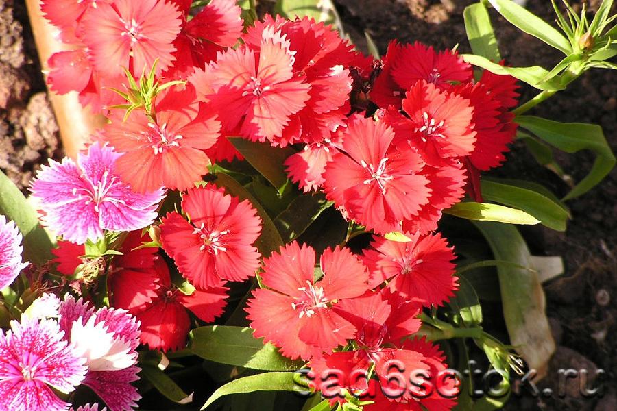 Гвоздика китайская (Dianthus chinensis)