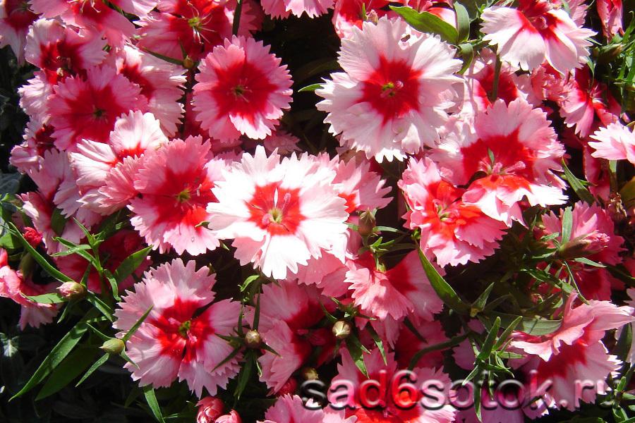 Китайская гвоздика (Dianthus chinensis)