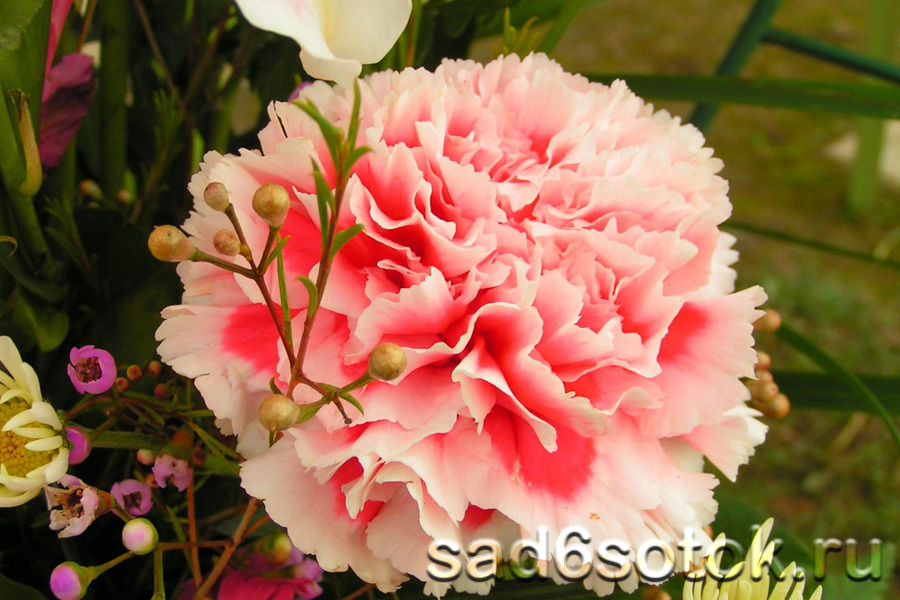 Гвоздика Шабо (Dianthus caryophyllus var. schabaud)