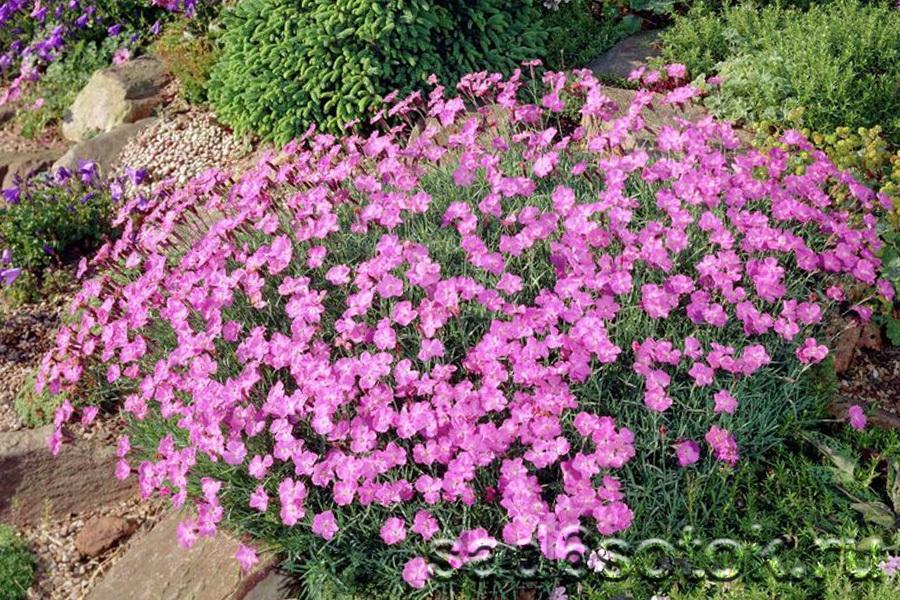 Гвоздика сизая (серовато-голубая) сорт Пинк Бланка (Pink Blanca)