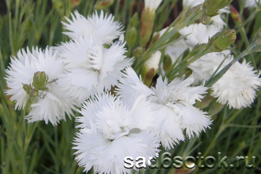 Гвоздика перистая сорт Дабл Вайт (Double White)