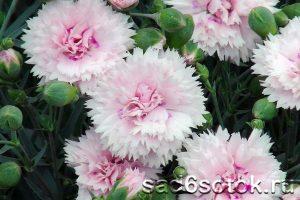 Гвоздика перистая (Dianthus plumarius)