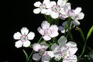 Гвоздика травянка сорт Конфетти Уайт (Confetti White)