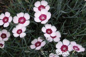 Гвоздика травянка сорт Вайт Ред (White Red)
