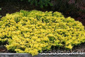 Можжевельник горизонтальный сорт Голден Карпет (Golden Carpet)