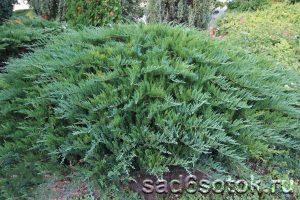 Можжевельник казацкий сорт Тамарисцифолия (Tamariscifolia)