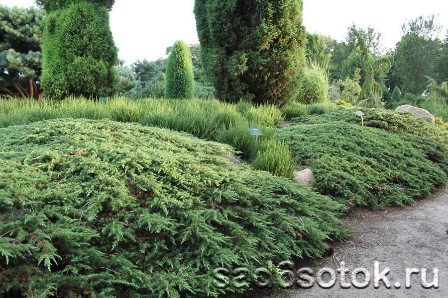 Можжевельник обыкновенный сорт Грин Карпет (Green Carpet)