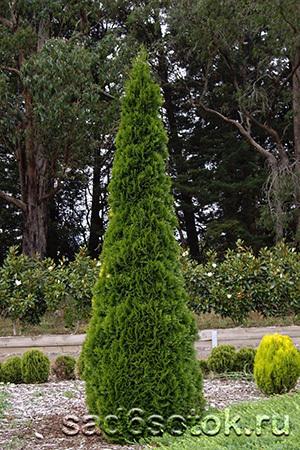 Туя западная сорт Фастигиата (Fastigiata)
