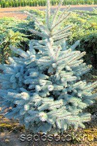 Ель колючая сорт Кристмас Блю (Christmas Blue)