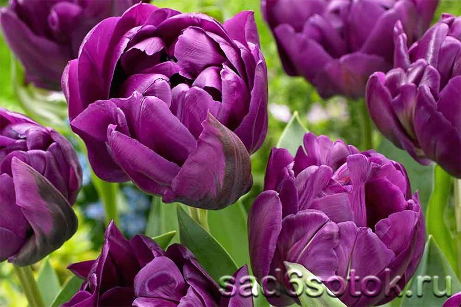 Перпл Пион (Purple Peony)