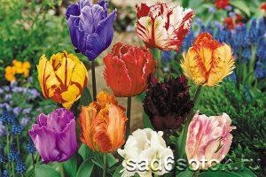Тюльпаны разных цветовых оттенков