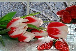 Выгонка тюльпанов под Новый год