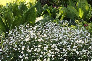 Борцелистный (Ranunculus aconitifolius)