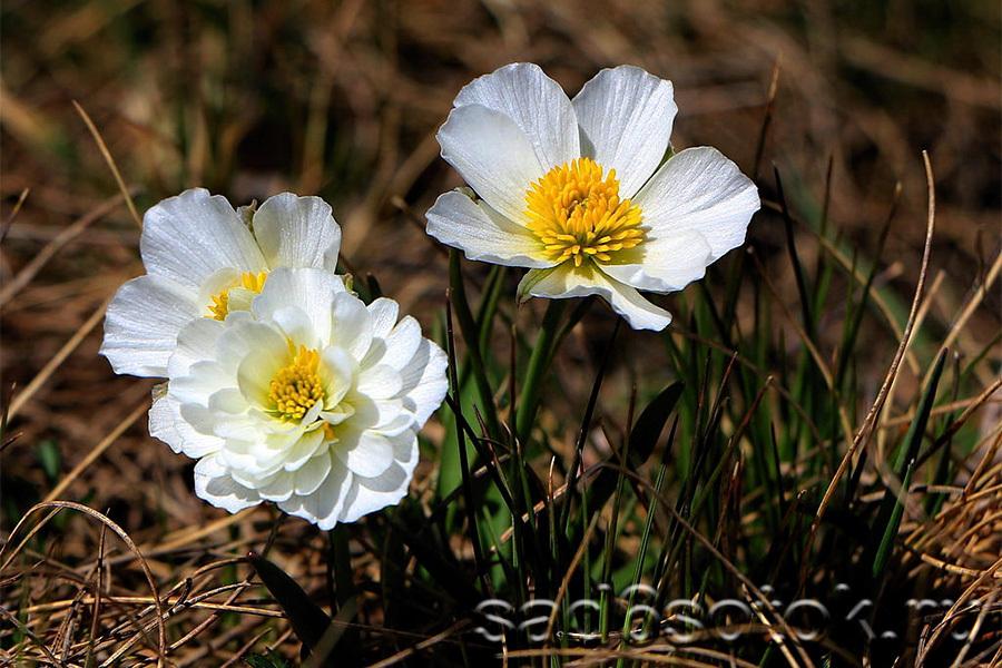 Пиренейский (Ranunculus pyrenaeus)