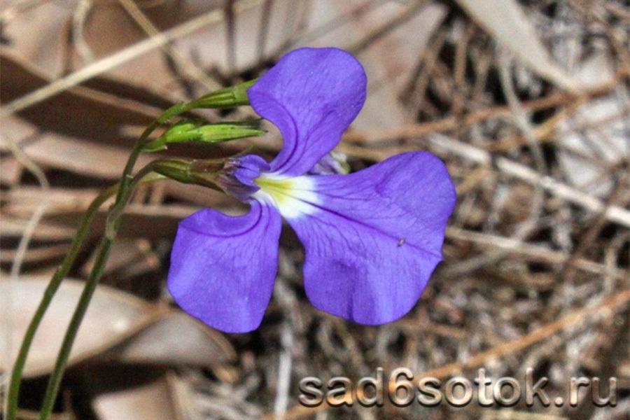 Лобелия тончайшая (Lobelia tenuior)