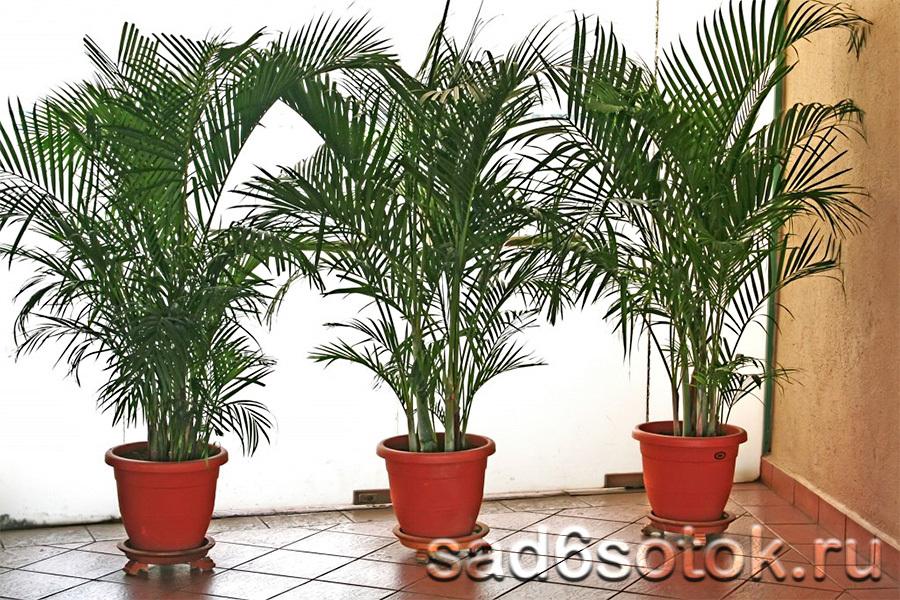 Пальма перистая