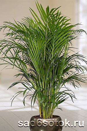 декоративная пальма уход