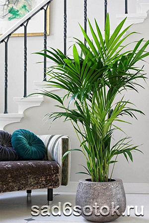 Уход за комнатной пальмой