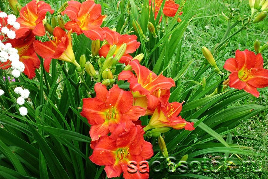 Советы по выращиванию лилейников