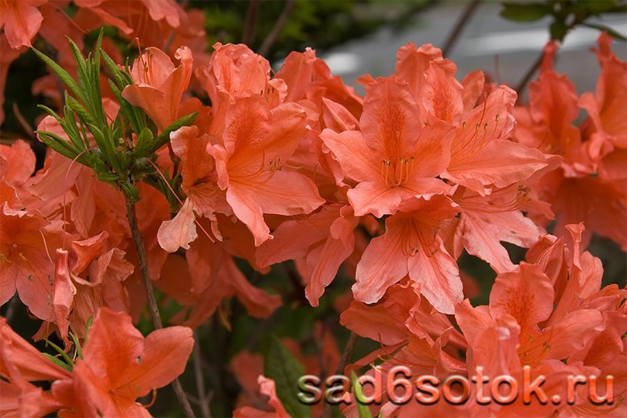 Japanese Rhododendron