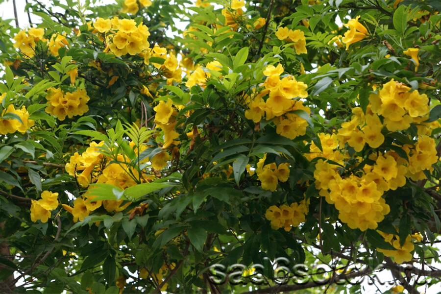 Кампсис с желтыми цветами