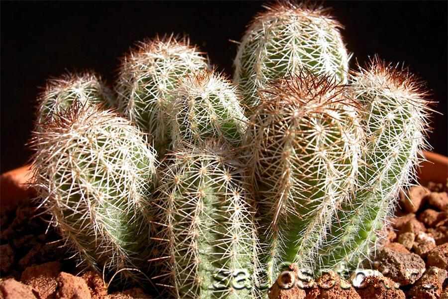 Эхиноцереус (Echinocereus)