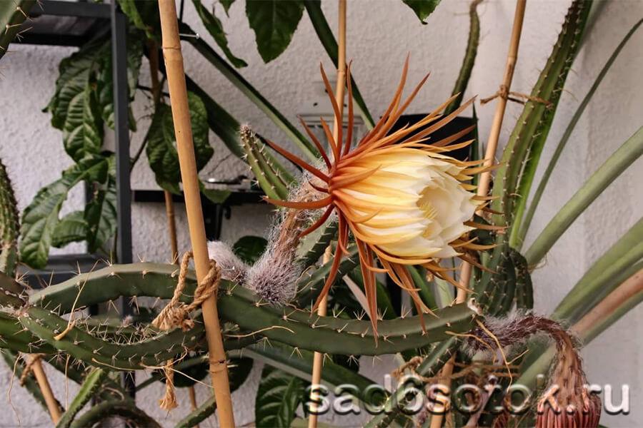 Селеницереус (Selenicereus)