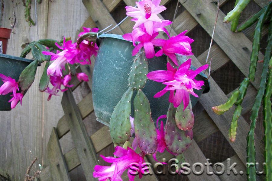 Шлюмбергера опунциевидная (Schlumbergera opuntioides)