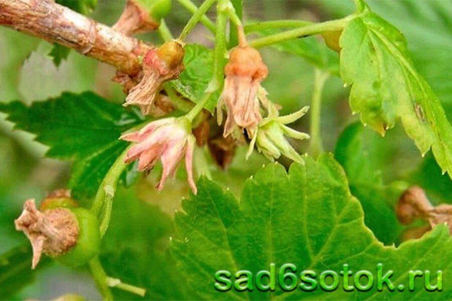 Махровость (реверсия) черной смородины