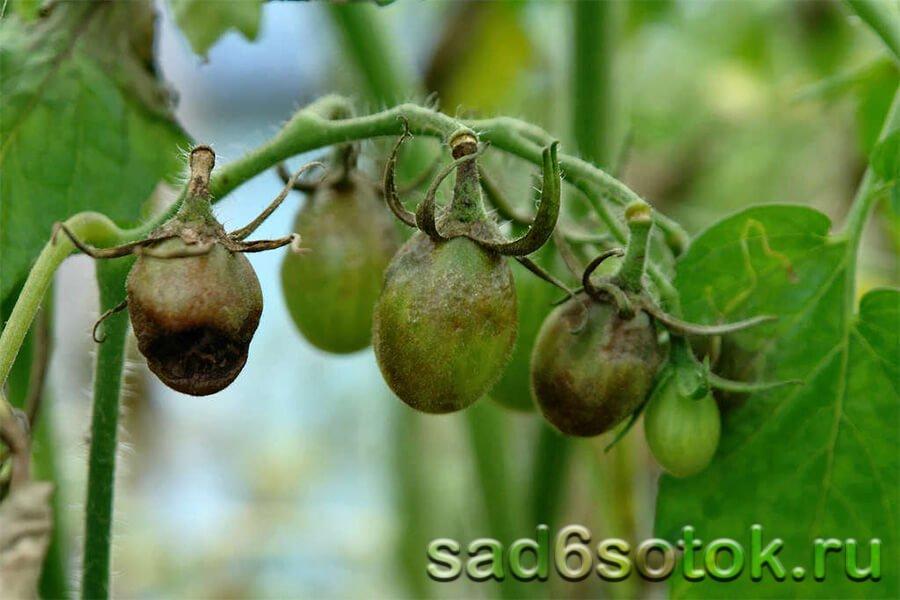 Стрик томатов