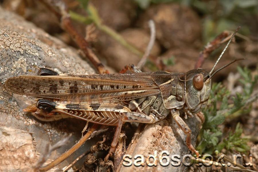 Мароккская саранча (Dociostaurus maroccanus)