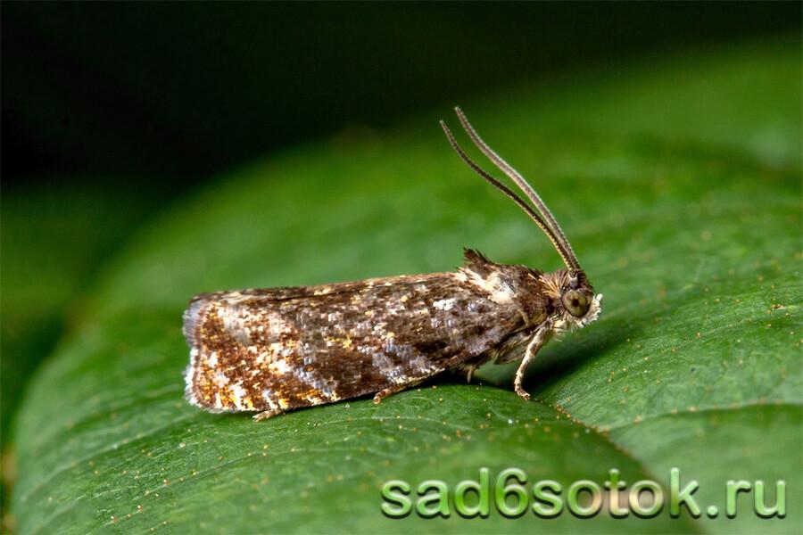 Листовертка (Tortricidae)