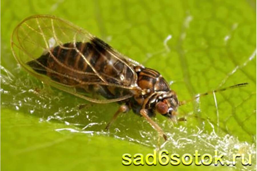 Медяница грушевая